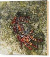 Crab In Cozumel Wood Print