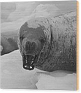 Crabeater Seal.. Wood Print