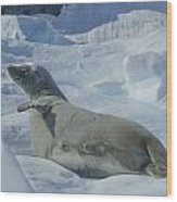 Crabeater Seal On An Iceberg Wood Print