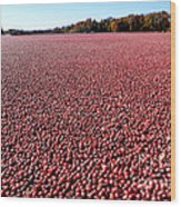 Cranberry Bog In New Jersey Wood Print