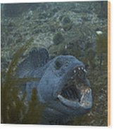 Crazy Catfish. Wood Print