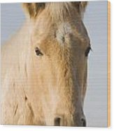 Cream Coloured Horse Head Looking Wood Print