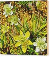 Cream Cups In Antelope Valley California Poppy Reserve-california  Wood Print