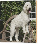 Cream Labradoodle On Wooden Chair Wood Print