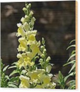 Creamy Yellow Snapdragon Wood Print