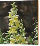 Creamy Yellow Snapdragon Wood Print