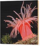 Crimson Anemone Cribrinopsis Fernaldi Wood Print