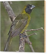 Crimson-collared Grosbeak Wood Print