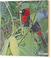 Crimson-collared Tanager Wood Print