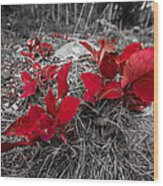Crimson Foliage Wood Print