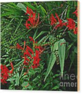 Crocosmia In Red Wood Print