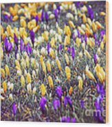 Crocus Field Wood Print