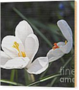 Crocus Flower Basking In Sunlight Wood Print by Elena Elisseeva