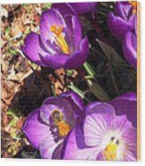 Crocus Nectar Wood Print