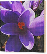 Crocus Purple And Orange Wood Print