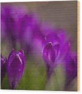 Crocus Purple Haze Wood Print