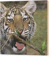 Crosseyed Siberian Tiger Cub Endangered Species Wildlife Rescue Wood Print