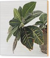 Croton Houseplant Wood Print