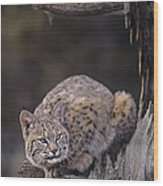 Crouching Bobcat Montana Wildlife Wood Print