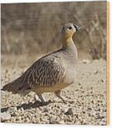 Crowned Sandgrouse Pterocles Coronatus Wood Print