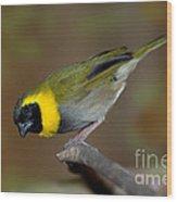 Cuban Melodius Finch Wood Print