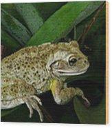 Cuban Tree Frog And Bromeliad. Wood Print