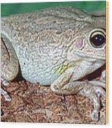 Cuban Tree Frog Osteopilus Wood Print