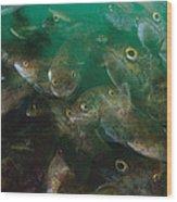 Cunner Fish Nova Scotia Wood Print