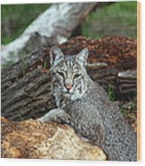 Curious Bobcat  Wood Print by Jean Clark