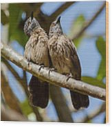 Curious Brown Babblers Wood Print