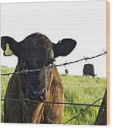 Curious Calf Looking Through Barbed Wire Fence Wood Print