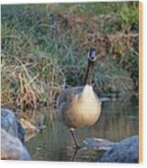 Curious Canadian Goose Wood Print