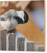 Curious Chickadee Wood Print