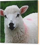 Curious Lamb Wood Print
