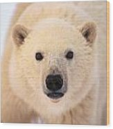 Curious Polar Bear Wood Print