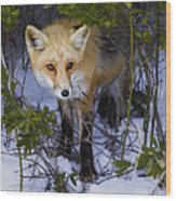 Curious Red Fox Wood Print