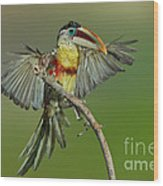 Curl-crested Aracari About To Perch Wood Print