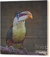 Curl-crested Aracari Wood Print