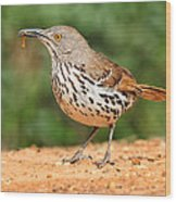 Curvedbill Thrasher With Grub Wood Print