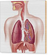 Cutaway Diagram Of Human Respiratory Wood Print