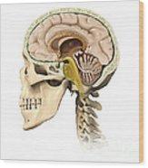 Cutaway View Of Human Skull Showing Wood Print