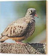 Cute Inca Dove Wood Print by Robert Bales