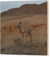 Cute Young Camel Desert Sinai Egypt Wood Print