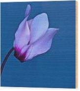 Cyclamen On Blue Wood Print