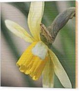 Cyclamineus Daffodil Named Jack Snipe Wood Print