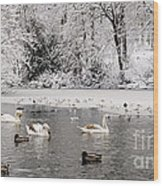 Cygnets In Winter Wood Print