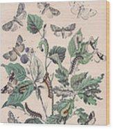 Cymatophoridae - Acronyctidae Wood Print