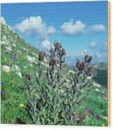 Cynoglossum Magellense Wood Print