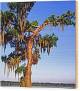 Cypress Tree Draped In Spanish Moss Wood Print