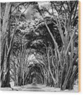 Cypress Tree Tunnel Point Reyes Wood Print